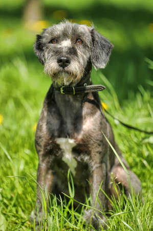 Terrier on a background of grass