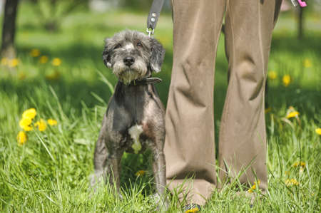 terrier for a walk with owner