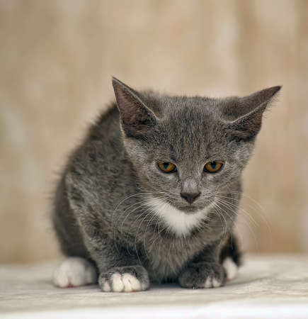 smooth-haired gray kitten