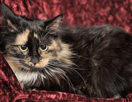 Fluffy tortoiseshell cat on burgundy background.