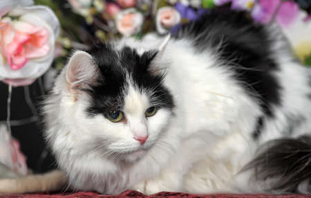 Fluffy white cat with black spots and flowers in the studio.