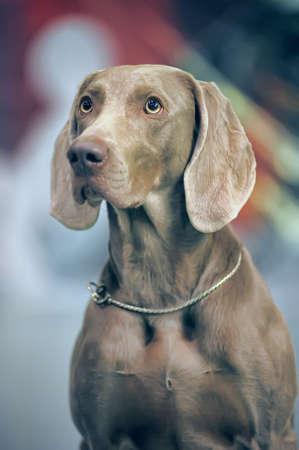A beautiful Weimaraner dog head portrait