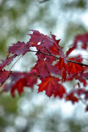 red maple leaves on the branch