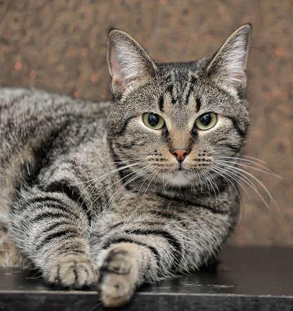 a thick striped cat lies