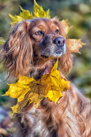 Photo pour beautiful red english spaniel on autumn background - image libre de droit