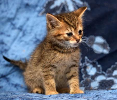 Photo pour cute brown kitten with stripes on a blue background - image libre de droit