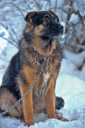 half-breed shepherd puppy on a chain in the snow