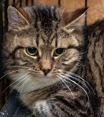 Photo pour sad tabby white cat in a cage in a shelter - image libre de droit