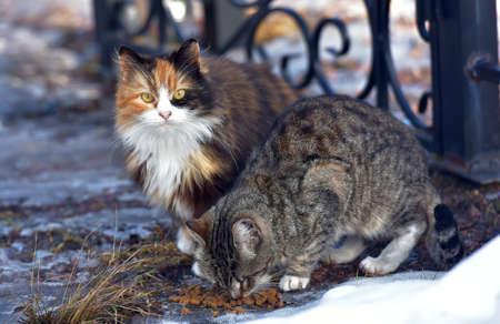 Photo for unhappy stray cats eat outside in winter close up - Royalty Free Image