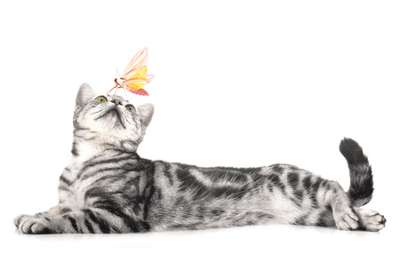 Photo pour cat and Butterfly on white background. - image libre de droit