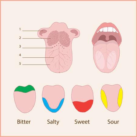 Anatomy of the human tongue  Basic tastes