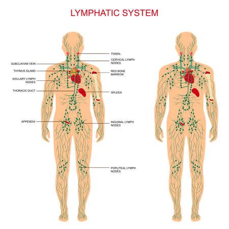 Illustration pour human anatomy, lymphatic system, medical illustration, lymph nodes - image libre de droit