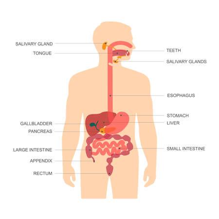 Illustration pour anatomy human digestive system, stomach vector illustration - image libre de droit
