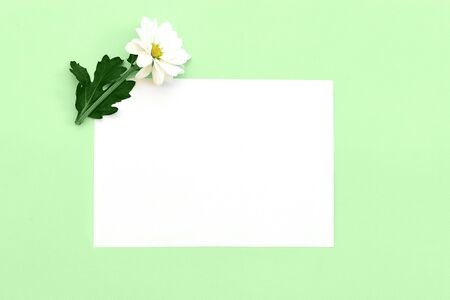 Photo pour White chrysanthemum with a copy space on a green background. Flat lay, top view, copy space - image libre de droit