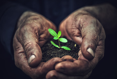 the young sprout plants in old dirty hands, concept
