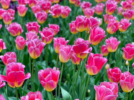 Photo pour Many pink tulips grow in the flower bed. - image libre de droit