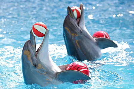 Photo pour dolphins playing with balls in the pool - image libre de droit