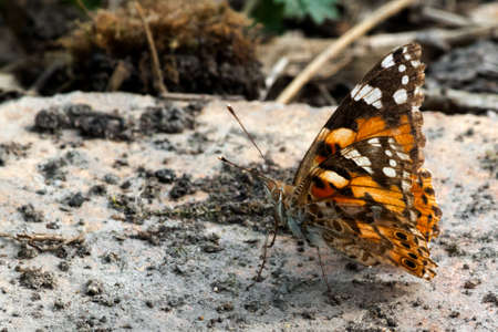 butterfly sits with the lifted wings on stone