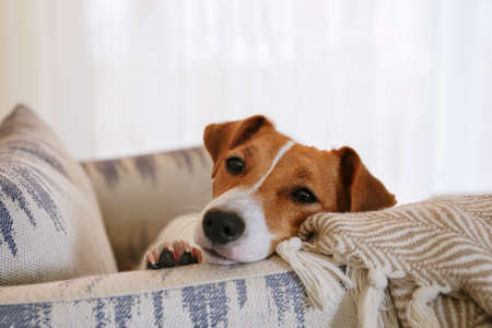 Photo pour Curious Jack Russell Terrier puppy looking at the camera. Adorable dog with folded ears lying on the armchair at home with funny look on its face. Close up, copy space, background. - image libre de droit