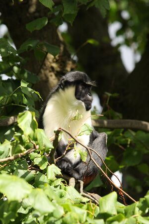 Photo of a Diana Monkey (Guenon)