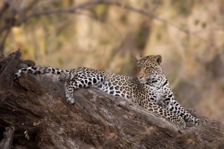 Leopard in Mashatu Game Reserve, Botswana, Africa