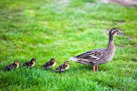 Photo pour Family of ducks  - image libre de droit
