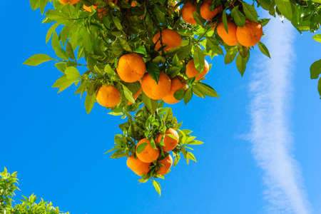 oranges hanging tree.  mandarin oranges. Juicy oranges on the tree on blue sky background.