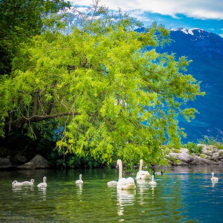 Mute Swan. Beautiful young swans in lake