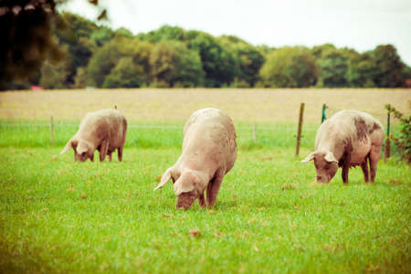 Pig farm.  pigs in field. Healthy pig on meadow