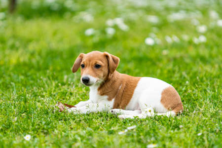 Photo pour Jack Russel Terrier dog outdoors in the nature on grass meadow on a summer day - image libre de droit
