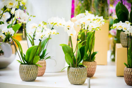 Photo for Beautiful tropical orchid flowers in pots - Royalty Free Image