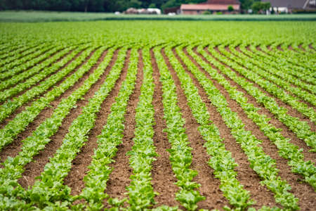 Foto de Rural vegetable fields. Lettuce, beetroot, spinach. Beautiful rural fields. - Imagen libre de derechos