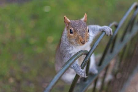 Squirrel at Flower walk hyde park Kensington gardens, London UK
