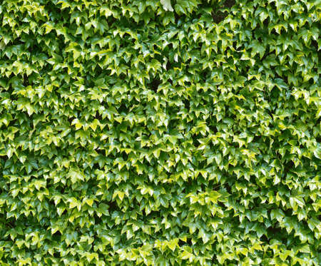 Green wall of parthenocissus