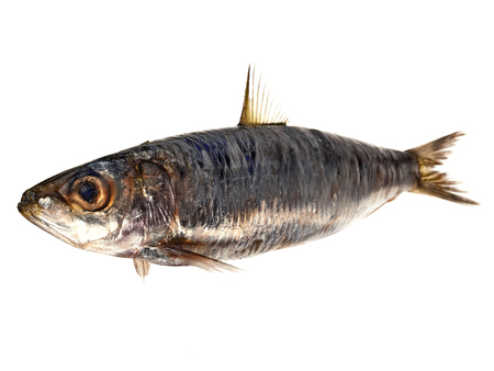 Photo pour Pilchard - Fish on White - image libre de droit