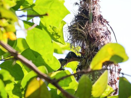 Female Olive-backed sunbird feeding her child in her nest. Cinnyris jugularis, Family Nectariniidae, synonyms Black-breasted Sunbird, Black-throated Sunbird, Olive backed Sunbird, Yellow-bellied Sunbird, Yellow-breasted Sunbird