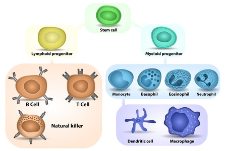 White Blood cell formation from differentiation of hematopoietic stem cell