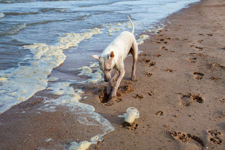 Photo for White thai dog digging sandy beach, Dirty Sea foam or Whipping cream ocean, Used plastic glass, Pollution of environment - Royalty Free Image