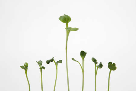 Sprouts on white background- Symbol for growth