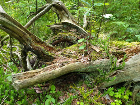 Composition of fallen tree on ground in forrest during summer. Closeup of fallen forrest tree