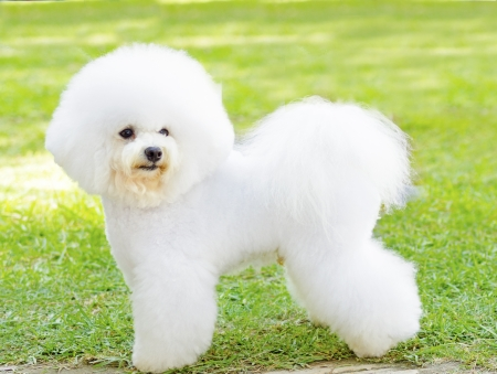 A small beautiful and adorable white fluffy bichon frise dog standing on the lawn and looking cheerful.