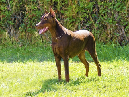 A young, beautiful, brown Doberman Pinscher standing on the lawn while sticking its tongue out and looking happy and playful. This Dobermann has its ears cropped and tail docked.