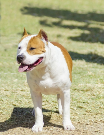 A small, young, beautiful, white and red sable American Staffordshire Terrier standing on the lawn while sticking its tongue out and looking playful and cheerful. Its ears are cropped.