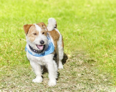 Rough coated Jack Russell Terrier, standing
