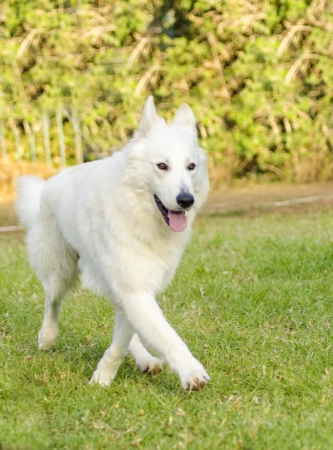 A young beautiful Berger Blanc Suisse dog walking on the grass  The White Swiss Shepherd dog looks like a German Shepherd but it is white  Distinctive for being long white coat and fr being intelligent and courageous