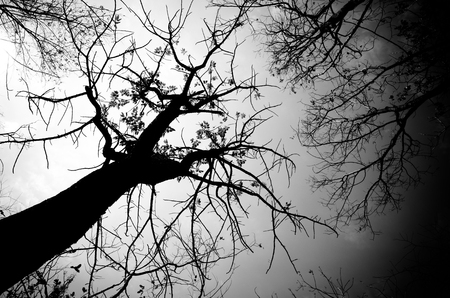 Photo pour black and white tree as monochome view in the dark moning light - image libre de droit