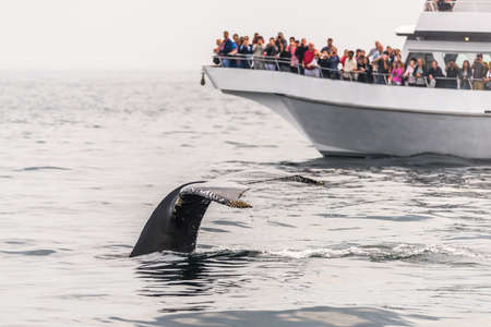 Foto per Watching the whales in the Stellwagen Bank Marine Sanctuary in Massachusetts - Immagine Royalty Free