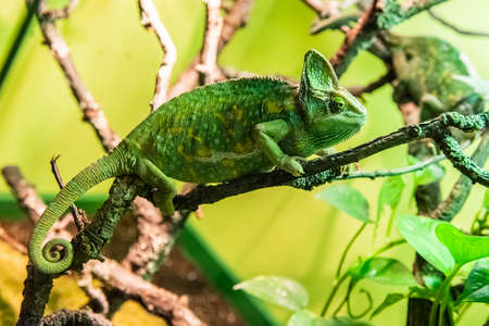 Photo pour Veiled Chameleon also called Cone-head Chameleon or Yemen Chameleon because it leaves in the Arabian Peninsula - image libre de droit