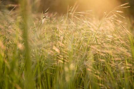 golden sunlight grass in the field