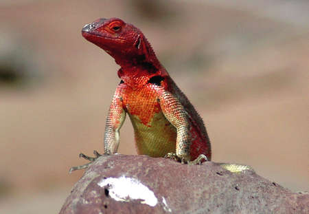 Female of lava lizard at  galapagos islands